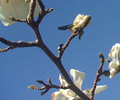 magnolia_120